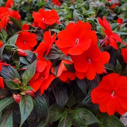 Busy Lizzie Red - 230 seeds...