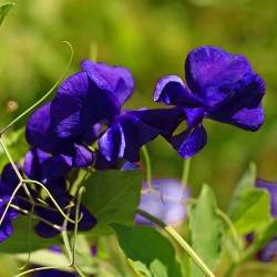 Sweet Pea 'Royal navy blue'...
