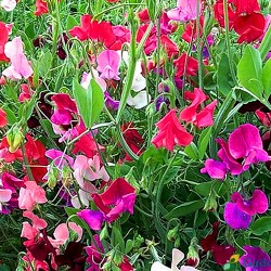 Everlasting Pea Pearl mixed...