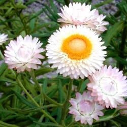 Strawflower White - 900...