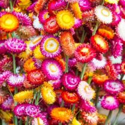 Strawflower mixed - 1400...