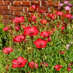 Scarlet flax - 1300 seeds...