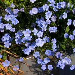 Blue flax - 1400 seeds...