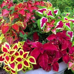 Coleus 'Everest formula'...