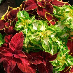 Coleus 'Rainbow' mixed -...