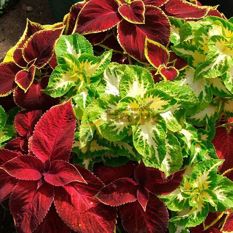 EXOTIC PLANT SEEDS EVEREST FORMULA MIX COLEUS BLUMEI 130 SEEDS