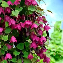 Purple bell vine - 12 seeds...