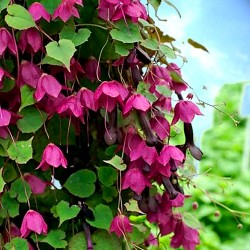 Purple bell vine - 12 seeds...