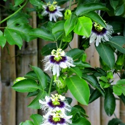 Passion flower - 40 seeds...
