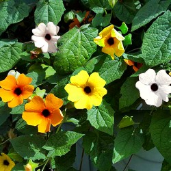 THUNBERGIA SUNRISE - 35...
