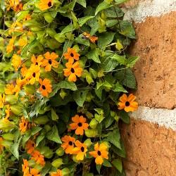 Thunbergia orange - 35...