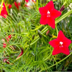 Cypress vine - 70 seeds...