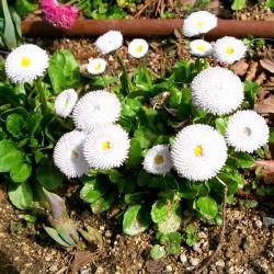 English daisy 'Pomponette'...