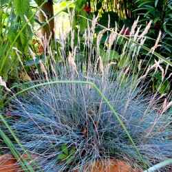 Blue fescue - 200 seeds...