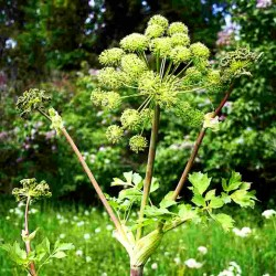 Angelica - 120 seeds...