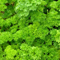 Parsley 'Moss curled no.2'...