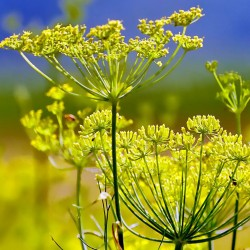 Dill - 8000 seeds (Anethum...