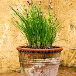Chives 'Thin chicks' - 1200...