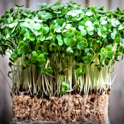 Watercress - 700 seeds...