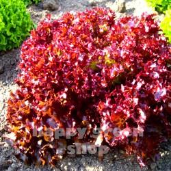 Lettuce 'Lollo rosso' -...