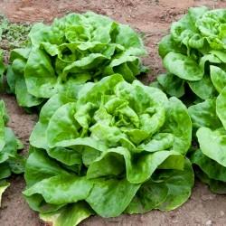 Lettuce 'May queen' - 2000...
