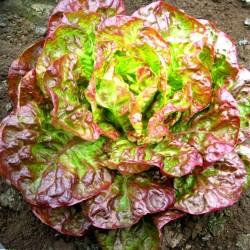 Batavian Lettuce 'Canasta'...