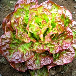 Lettuce 'Canasta' - 1000 seeds