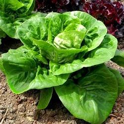 Lettuce 'Little gem' - 2500...