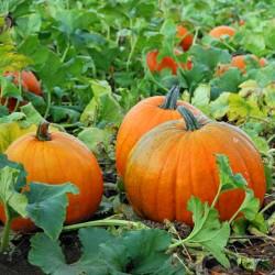 Pumpkin 'Halloween' - 25...