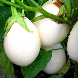 Aubergine 'Golden egg' - 20...