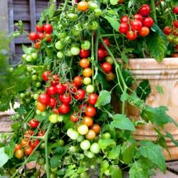 Tomato trailing...