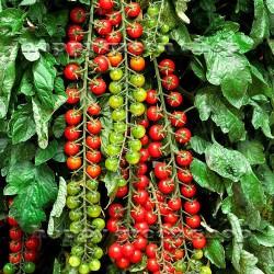 Tomato 'Sweet Million' - 15...