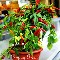 Sweet pepper 'Poupila' - 50...