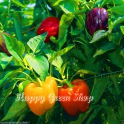 Sweet pepper bell mix - 100...