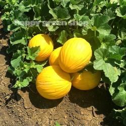 Melon 'Amarillo oro' - 20...