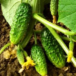Cucumber 'Hotspur' F1 - 50...