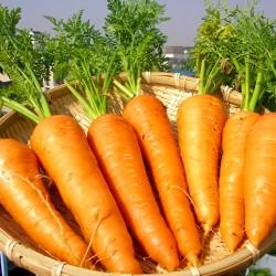 Carrot 'Amsterdam 2' - 6 m...