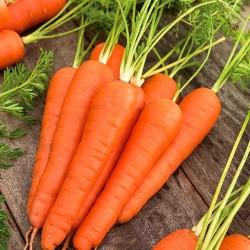 Carrot 'Berlikumer' - 6 m...