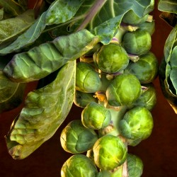 Brussel sprout 'Casiopea' -...