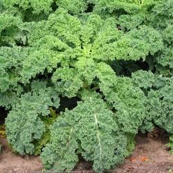 Kale 'Borecole' - 1000...