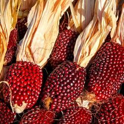 Corn 'Strawberry' popping -...
