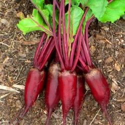 Beetroot 'Cylindra' -  5m...