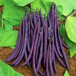French bean 'Purple Queen'...