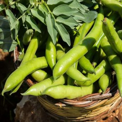 Broad bean 'Bison' - 15...