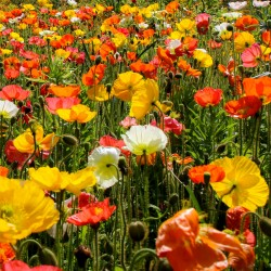 California poppy mix - 2100...