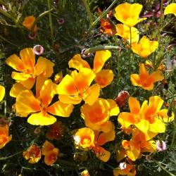 California poppy 'Golden...