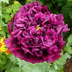Poppy double 'Violet blush'...
