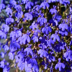 Lobelia 'Emperor William' -...