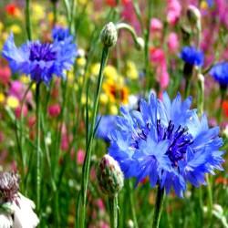 Cornflower 'Blue boy' -...