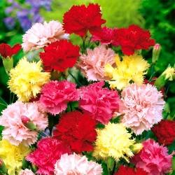 Carnation 'Vienna' - 200...